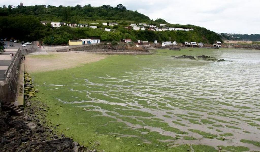 Prolifération d'algues vertes sur la plage du Valais à St Brieuc durant l'été 2017. En se décomposant, ces algues dégagent un gaz toxique appelé sulfure d'hydrogène. © Maxppp / Cyril Frionnet