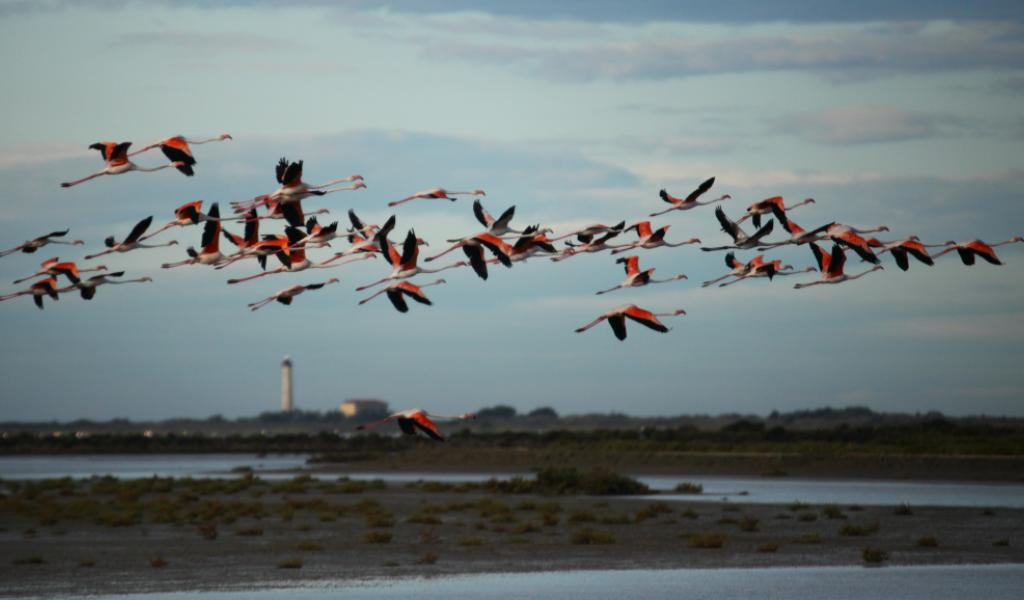 Vol de flamants roses au-dessus des anciens salins @jean_Jalbert-TourduValat